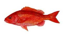Vermillion Snapper